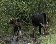 moose cow and calf grazing